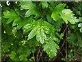 NS3975 : Leaf galls on hawthorn by Lairich Rig