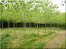 SU5270 : Young poplars on Westrop Farm – an addition to some valuable ancient woodland by D Gore