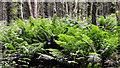 J4477 : Ferns, Cairn Wood, Craigantlet (2) by Albert Bridge