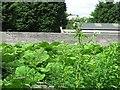 NT2972 : Giant hogweed by Richard Webb