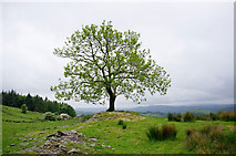 SD4297 : Solitary tree, south of School Knott by Rob Burke