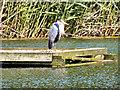 NZ1860 : Heron on Clockburn Lake by David Dixon
