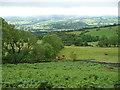 SO2221 : Bullocks graze above the Usk Valley near Crickhowell by Jeremy Bolwell