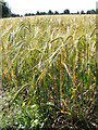 TM3864 : Barley Crop by Adrian Cable