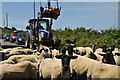 SX0890 : North Cornwall : Sheep on the B3263 by Lewis Clarke
