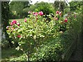 SP2068 : Old roses at Foxbrook Cottage by Robin Stott