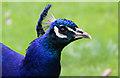 TQ1876 : Peacock, Kew Gardens, London by Christine Matthews