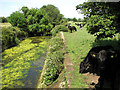 TM3288 : Cattle grazing along the drainage channel in Marston Moor, Earsham by Evelyn Simak