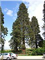 SP3152 : Conifers at Compton Verney car park by Derek Harper
