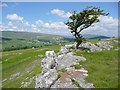 SD9866 : Tree and scar, Conistone by Humphrey Bolton