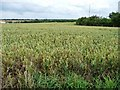SE4314 : Wheatfield off Pontefract Road by Christine Johnstone