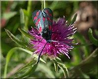 SX9066 : Burnet moth, Barton tip by Derek Harper
