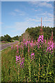 NH9455 : Fireweed by the A96 by Anne Burgess