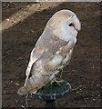 NS3075 : Barn Owl by Andy Farrington