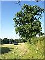 ST0417 : Oak, Besley by Derek Harper