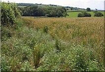 ST0218 : Wheat near Fair Oak by Derek Harper
