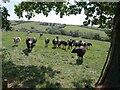 ST0217 : Cattle above Murley Farm by Derek Harper