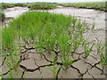 TF8344 : Norfolk Samphire (Salicornia europaea) by Dave Croker