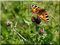 NY9523 : Small Tortoiseshell (Aglais urticae) on thistle by Andrew Curtis