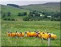NN8339 : 'Eggy' sheep in Glen Quaich by Alan Reid