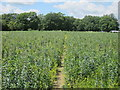 TQ4536 : Pea Field near St Ives Farm by Oast House Archive