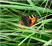 SJ8958 : Small Tortoiseshell butterfly by Jonathan Kington