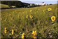 SE9727 : Field of sunflowers, Melton Bottom by Paul Harrop