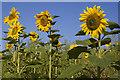 SE9727 : Sunflowers near Welton Wold by Paul Harrop