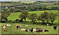 D4500 : Cattle, Ballypriormore, Islandmageee (3|) by Albert Bridge
