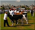 NX0660 : Cattle Competition by Andy Farrington
