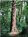 TG2710 : Redwood tree on the edge of Belmore Plantation, Thorpe St Andrew by Evelyn Simak