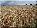 SE2614 : View across wheatfield [2] by Christine Johnstone