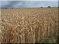 SE2614 : View across wheatfield [2] by Christine Johnstone