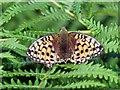 NT8907 : Dark Green Fritillary (Argynnis aglaja) resting on bracken by Andrew Curtis