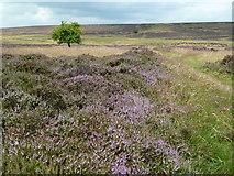 SK1973 : Path through the heather on Longstone Moor by Graham Hogg