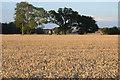 SO8740 : Wheat field near Naunton by Philip Halling