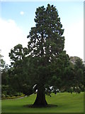 NS3478 : Magnificent tree specimen by Carol Walker