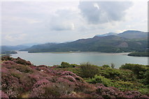 SH6216 : Heather growing at the 'Panorama' viewpoint above the Mawddach estuary by Roger Davies