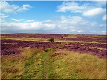 SK1973 : Heather in Flower on Longstone Moor by Jonathan Clitheroe