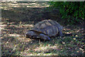 SP0683 : African spurred tortoise (Geochelone sulcata) at Birmingham Nature Centre by Phil Champion