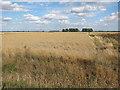 TL3872 : Wheat field off Long Holme Drove by Hugh Venables