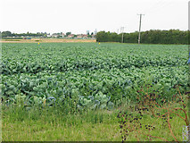 TR3256 : A field of brassicas at Stone Cross, Sandwich by Nick Smith