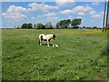 TL5971 : Horses on South Horse Fen by Hugh Venables