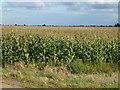 TF3202 : Maize, Knarr Fen Road near Thorney by Richard Humphrey