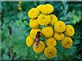 NS8593 : Tansy (Tanacetum vulgare) by William Starkey