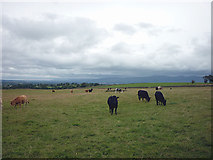 NY6315 : Cattle above Maulds Meaburn by Karl and Ali