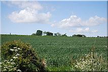 NU2422 : Wheat field near Dunstan Stead by N Chadwick