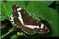 TQ2238 : White Admiral butterfly by Robin Webster