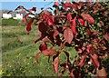 SX9066 : Spindle tree leaves, Lindisfarne Park by Derek Harper
