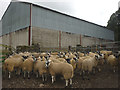 NY7005 : Mule lambs at Brownber by Karl and Ali